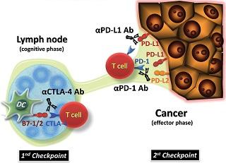 immune checkpoints | International Immunology
