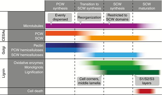 Cell biology of secondary cell wall biosynthesis annals of botany the onset and completion of secondary cell wall scw synthesis involves changes in many ccuart Choice Image