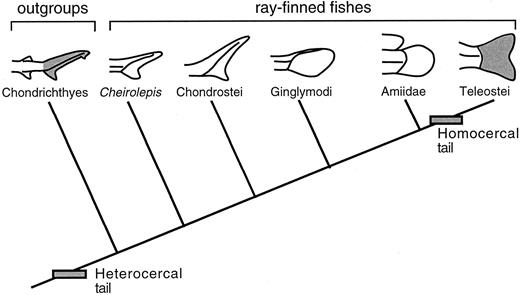Function Of The Caudal Fin During Locomotion In Fishes Kinematics