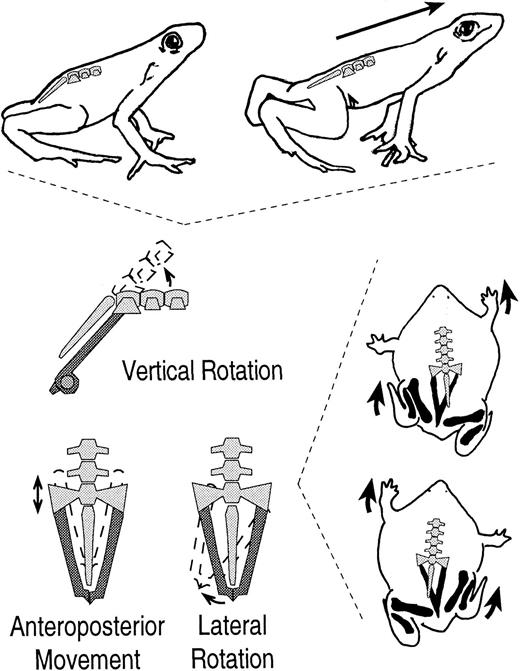 Evolution Of The Functional Role Of Trunk Muscles During Locomotion