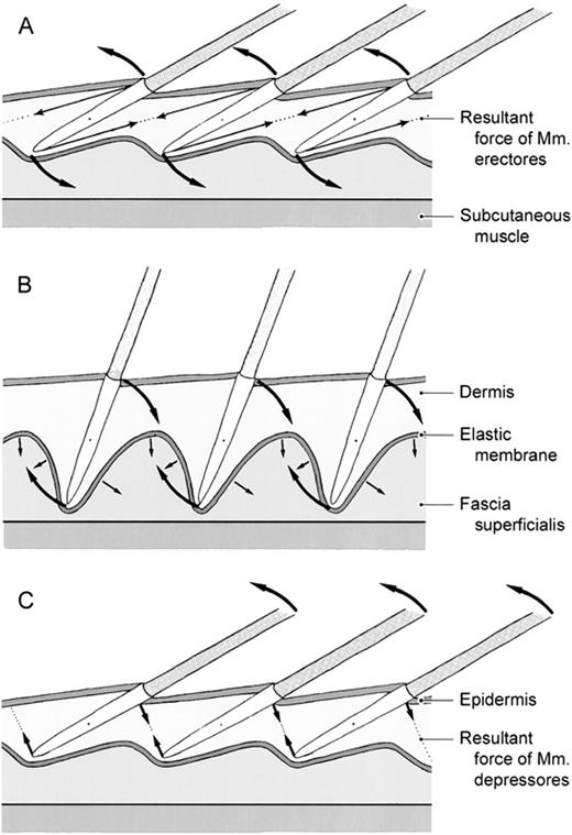 Functional Microanatomy of the Feather-Bearing Integument ...
