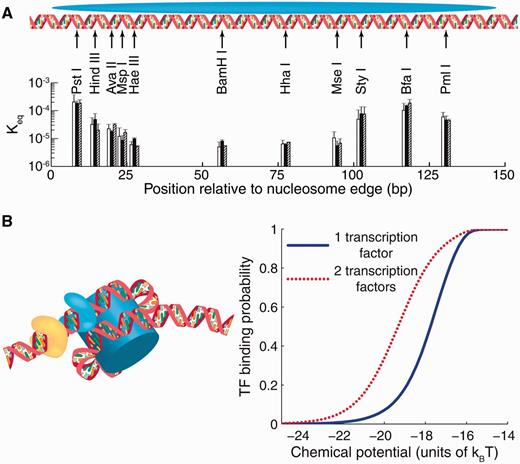 DNA Accessibility And TF Binding To Nucleosomal DNA. (A