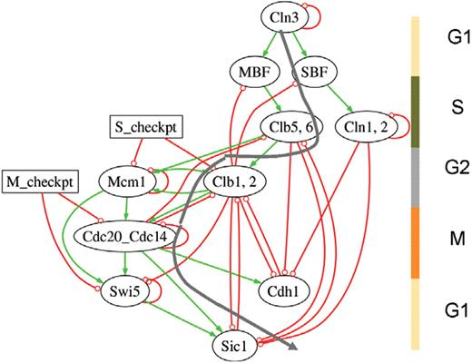 Few crucial links assure checkpoint efficiency in the yeast cell yeast cell cycle network of li et al 2004 oval ccuart Gallery
