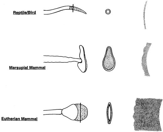 Mammalian Fertilization Misread Sperm Penetration Of The Eutherian