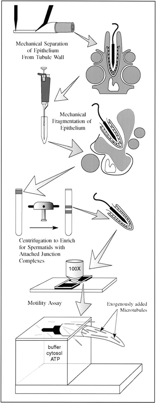 Spermatid Translocation In The Rat Seminiferous Epithelium Coupling