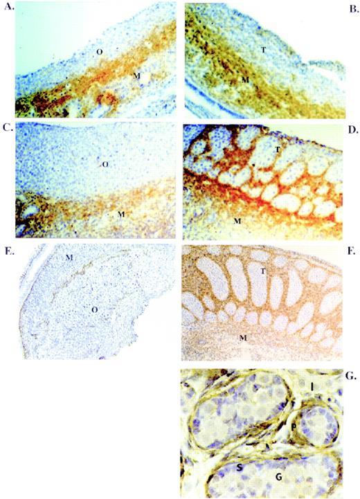 Role Of Neurotropins In Rat Embryonic Testis Morphogenesis Cord