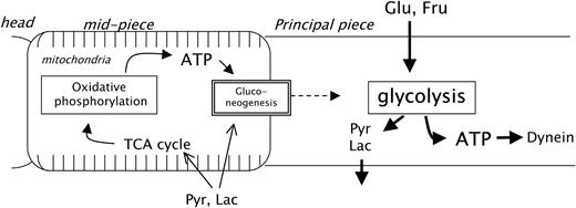 Glycolysis plays a major role for adenosine triphosphate schematic presentation of energy metabolism in mouse sperm sperm motility is supposed to be maintained ccuart Image collections