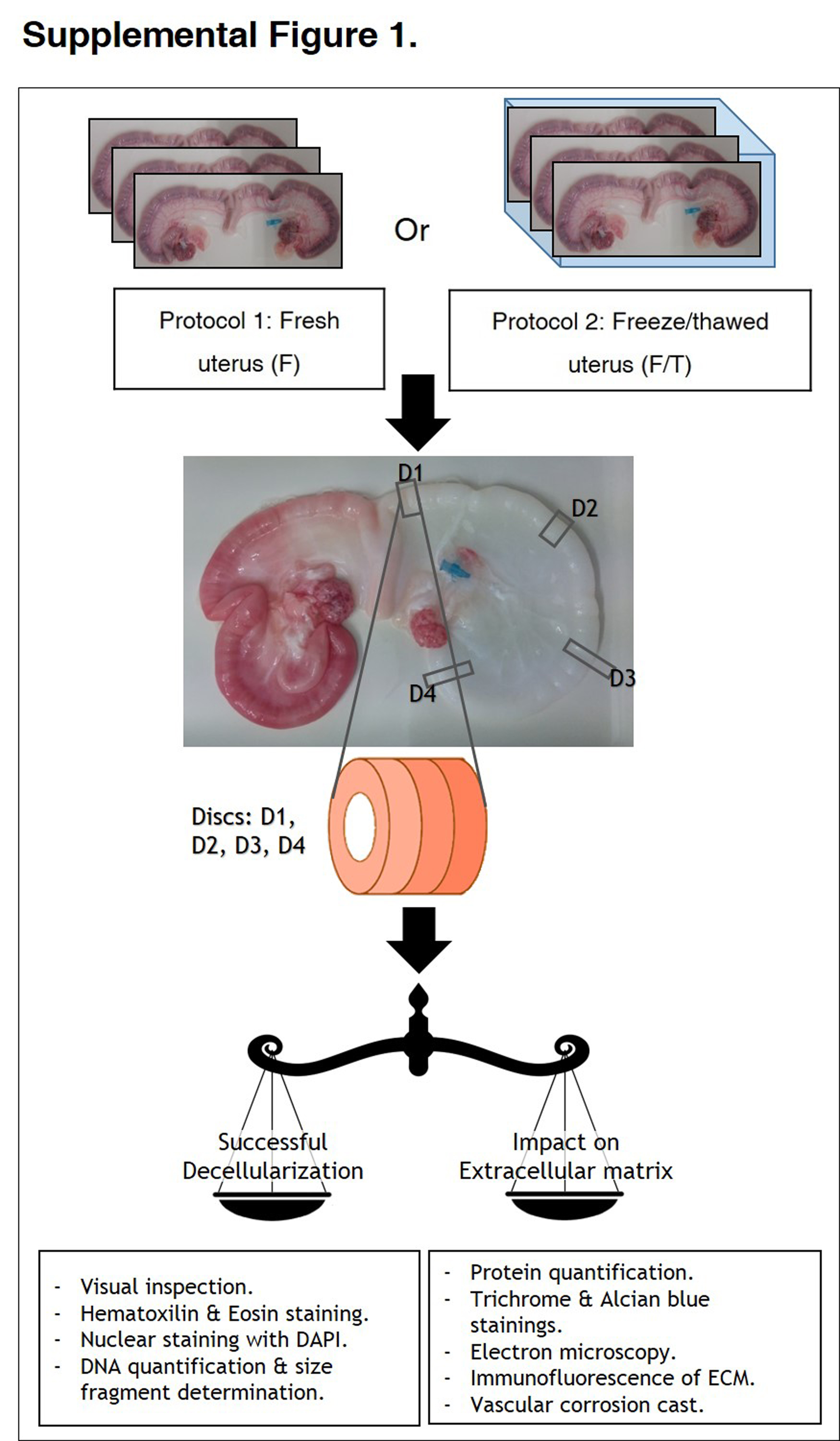 De And Recellularization Of The Pig Uterus A Bioengineering Pilot Mercedes Benz 190e Wiring Diagram Filetype Pdf These Segments Decellularized Samples Fresh Control Were Fixed For 24 Hours In 4 Paraformaldehyde Pfa At 4c Histological Staining