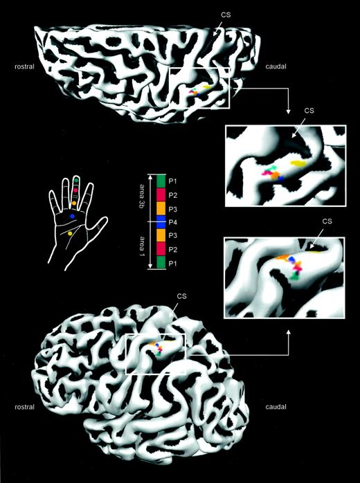 Evidence For A Rostral To Caudal Somatotopic Organization In Human