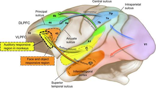 Representation And Integration Of Auditory And Visual Stimuli In The