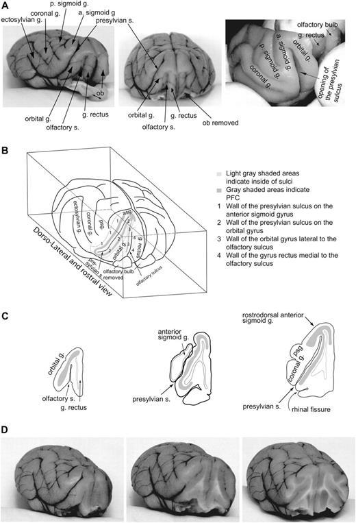 Circuit-based Localization of Ferret Prefrontal Cortex | Cerebral ...