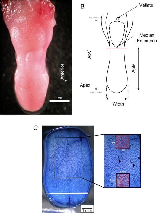 Genetic Analysis Of Tongue Size And Taste Papillae Number And Size
