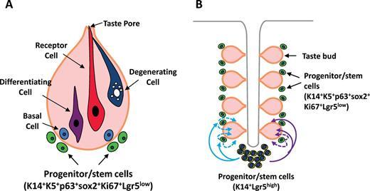 Taste Bud Homeostasis in Health, Disease, and Aging   Chemical ...