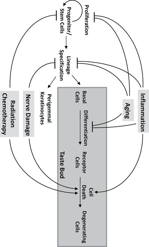 Taste Bud Homeostasis In Health Disease And Aging Chemical