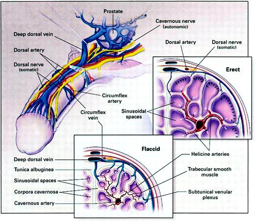 Male Sexual Function And Its Disorders Physiology Pathophysiology