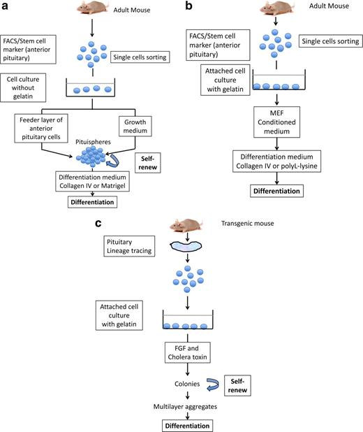 Pituitary Stem Cell Update And Potential Implications For Treating