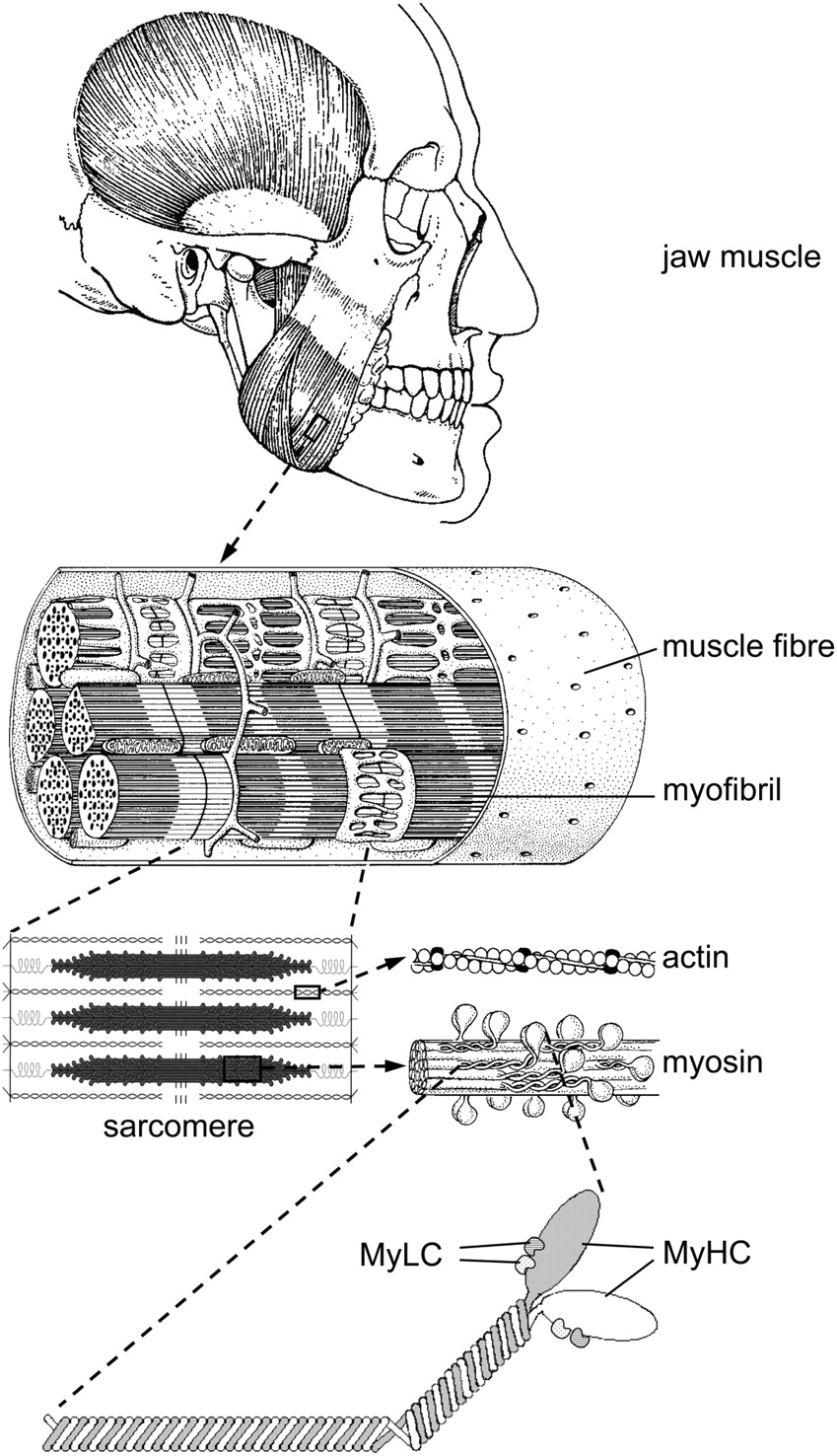 adaptive response of jaw muscles to varying functional demands ...