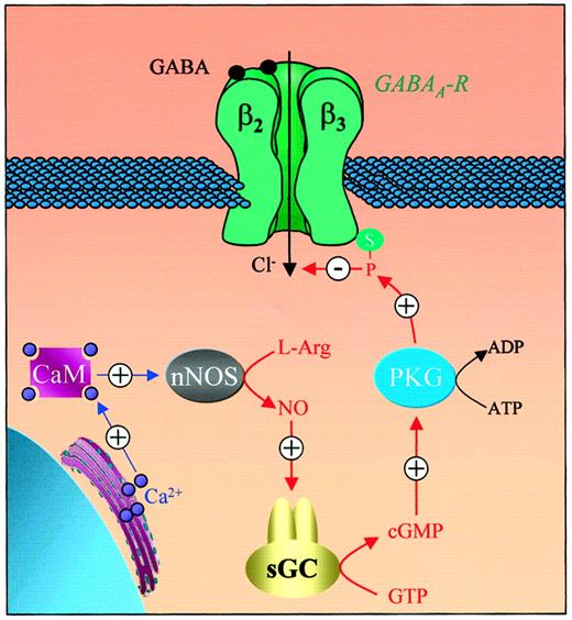 Regulation of the GABAA Receptor by Nitric Oxide in Frog
