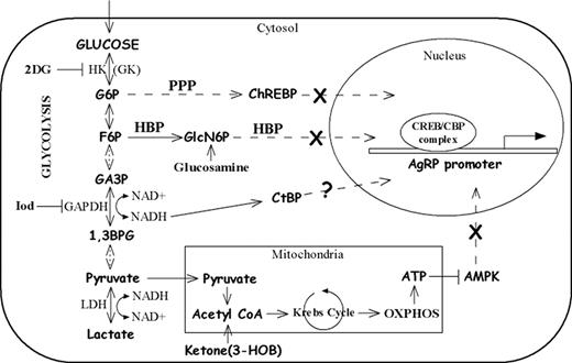 Inhibition Of Agouti Related Peptide Expression By Glucose In A