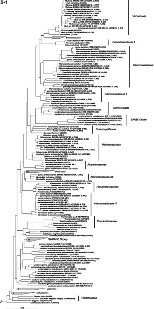 Maximum likelihood trees of 16S rRNA gene sequences of