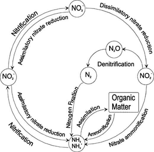The nitrogen cycle showing the chemical forms and key