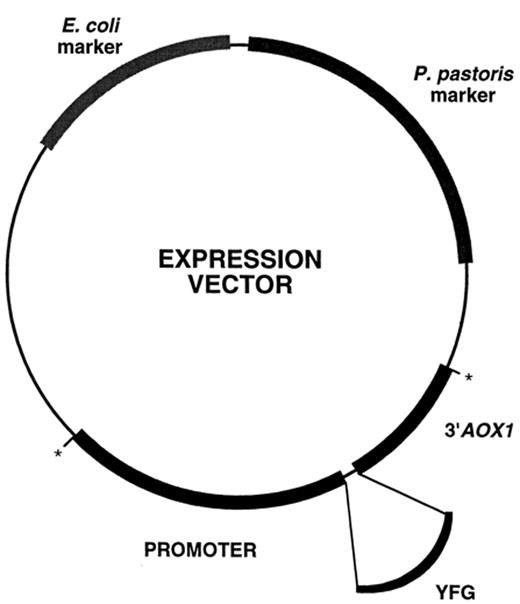 General diagram of a P. pastoris expression vector. YFG