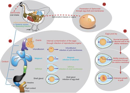Mechanisms Of Egg Contamination By Salmonella Enteritidis Fems