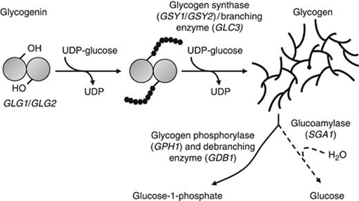 schematic representation of the pathways of glycogen
