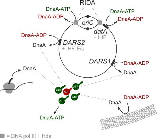 Integrative View Of Cell Cycle Control In Escherichia Coli Fems