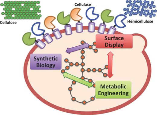 Cell surface display of enzymes by the yeast saccharomyces creation of yeast cell factories using each approaches surface display synthetic biology and ccuart Gallery