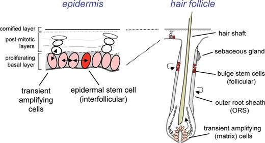Skin and hair: models for exploring organ regeneration | Human ...