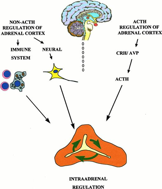 Adrenocorticotropin Acth And Non Acth Mediated Regulation Of The