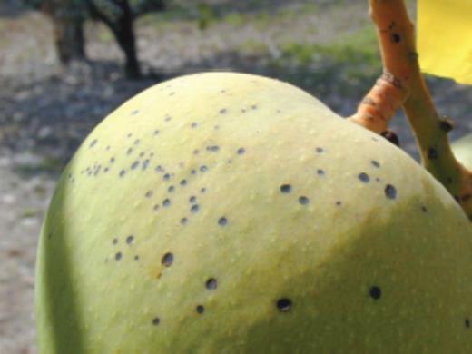fruit damaged by formic acid weaver green ants