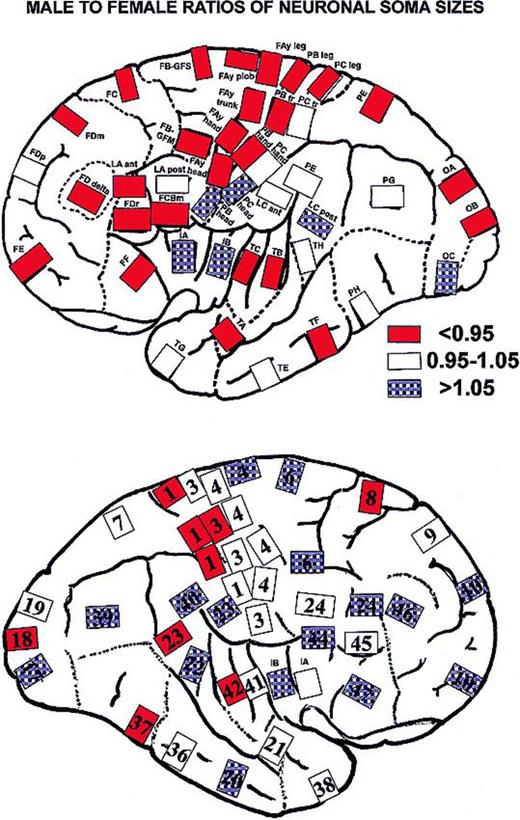 Structure Of The Cerebral Cortex In Men And Women Journal Of