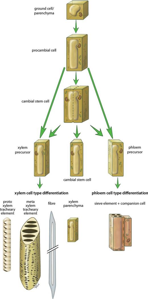 Xylem Tissue Specification Patterning And Differentiation