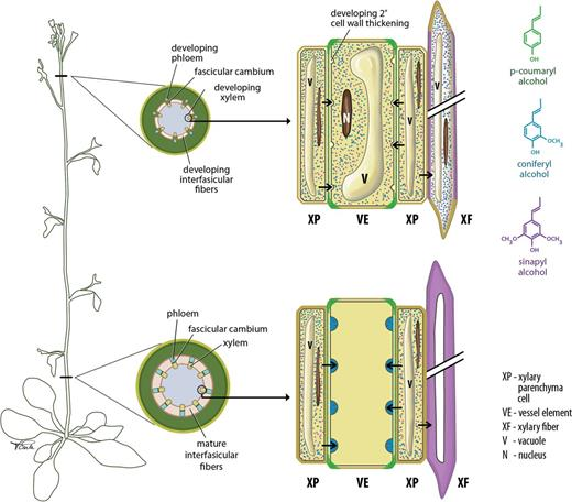 Xylem tissue specification patterning and differentiation the developmental progression of xylem cell types in the arabidopsis inflorescence stem a diagrammatic representation ccuart Gallery
