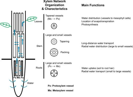 Investigating Water Transport Through The Xylem Network In Vascular