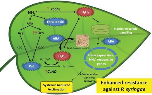 Nh4 Protects Tomato Plants Against Pseudomonas Syringae By