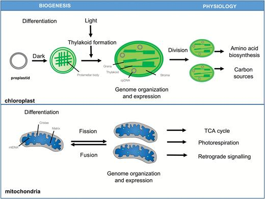 Plants grow with a little help from their organelle friends overview of chloroplast and mitochondria biogenesis and function schematic representation of chloroplast differentiation from the ccuart Choice Image