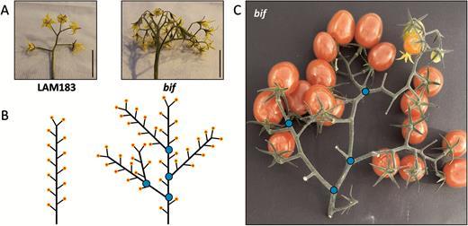 Bifurcate Flower Truss A Novel Locus Controlling Inflorescence