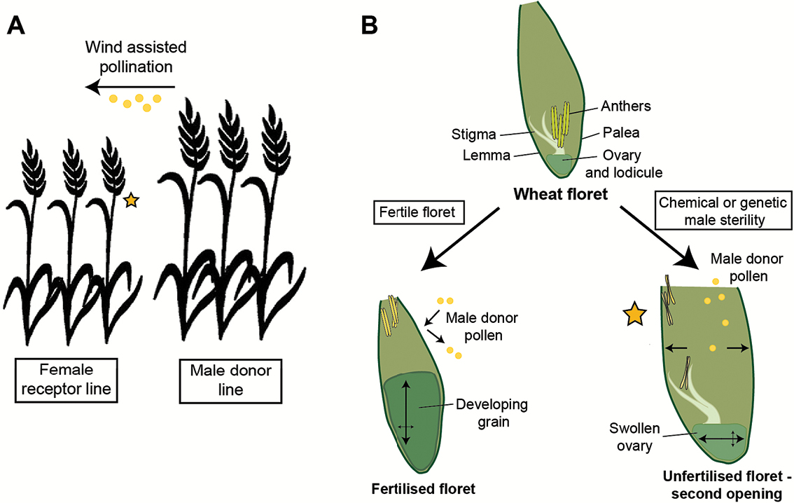 new opening for wheat seed production | Journal of Experimental ...