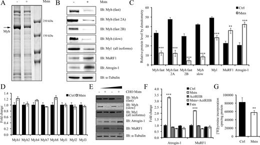 Myostatin induces the loss of sarcomeric proteins and