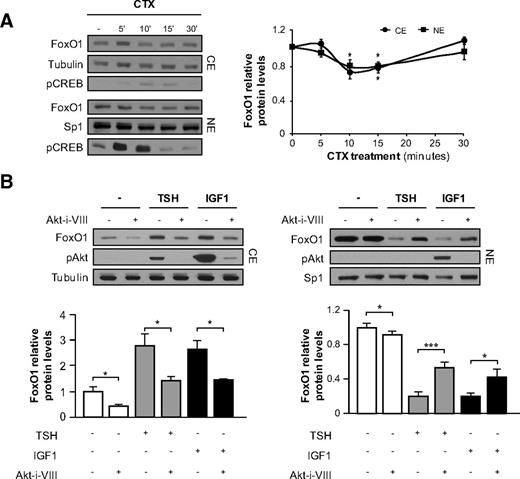Thyrotropin- And IGF-I-induced Exit Of FoxO1 From The