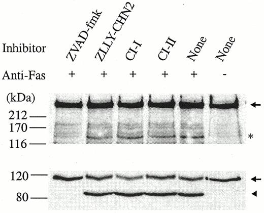 Proteolysis Of The Human Dna Polymerase Catalytic Subunit By