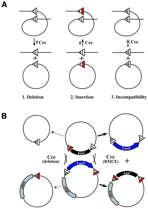 Figure 2. Cre‐mediated recombination in cis and in trans
