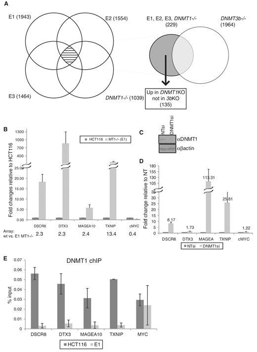 DNMT1 target genes. ( A ) Venn diagram depicts numbers of