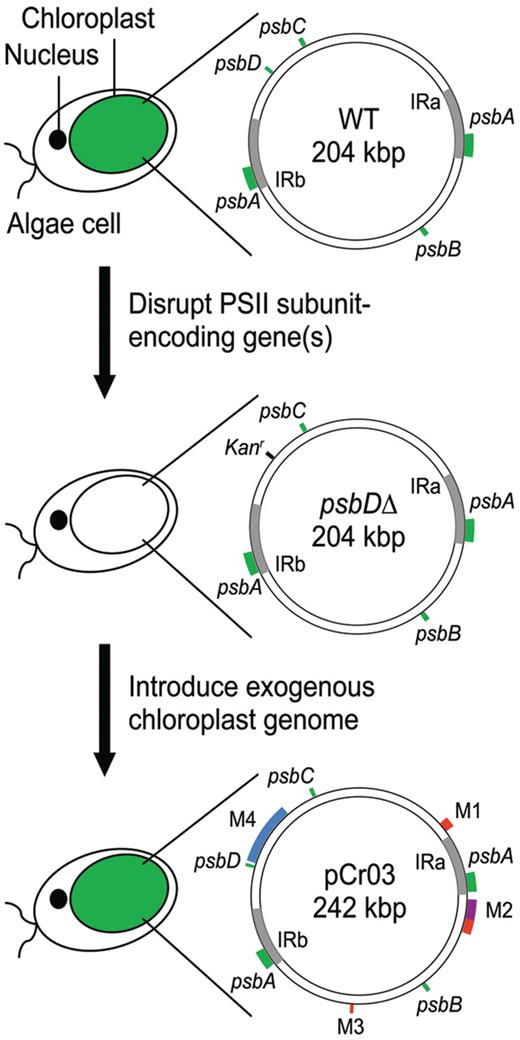 Exogenous chloroplast genome for complex sequence manipulation in exogenous chloroplast genome transformation strategy color of the chloroplast indicates whether it is able to ccuart Image collections
