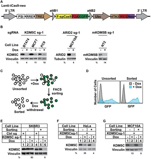 A Sensitive And Efficient Inducible Crispr Cas9 System A