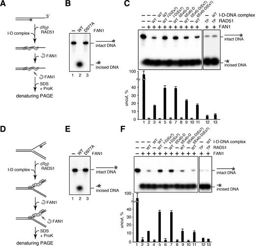 Fanci Fancd2 Stabilizes The Rad51 Dna Complex By Binding Rad51 And