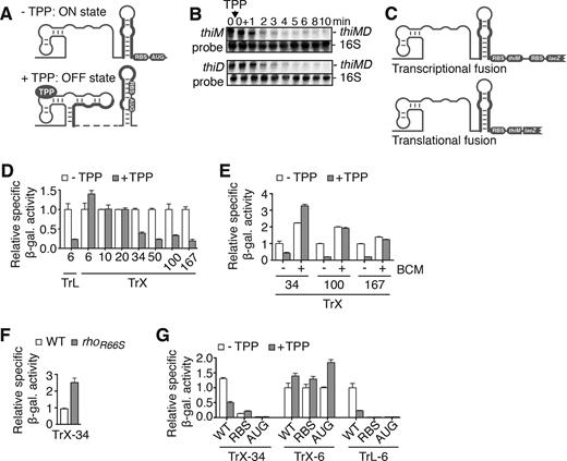 The Escherichia coli thiM riboswitch uses Rho-dependent